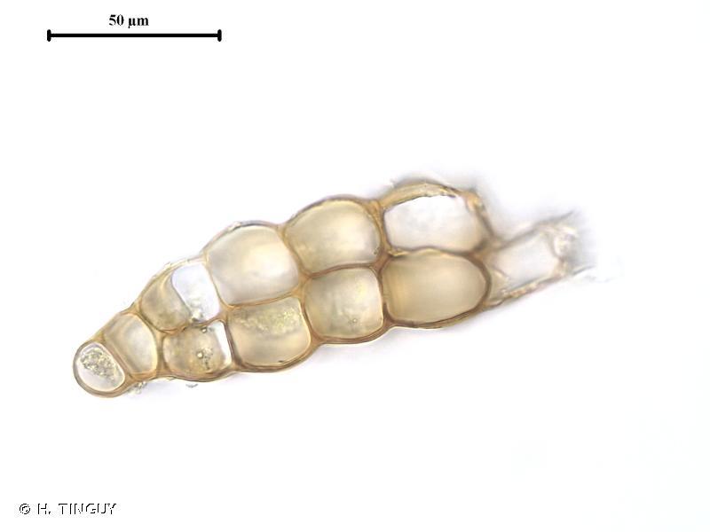 Dicranum fuscescens