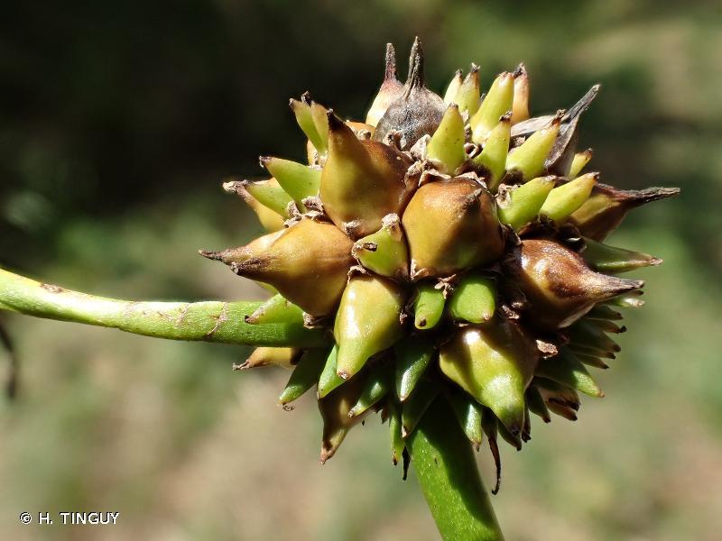 Sparganium oocarpum