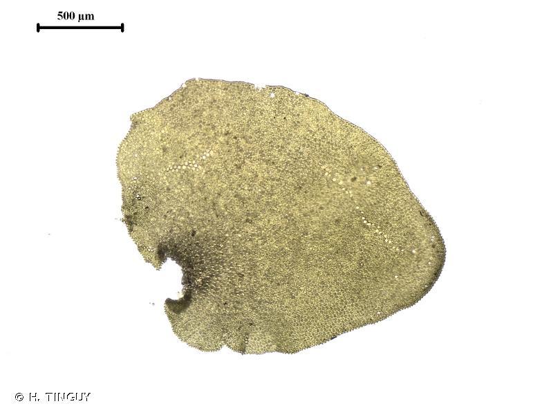 Porella obtusata