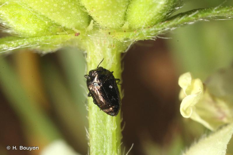 Trachys quercicola