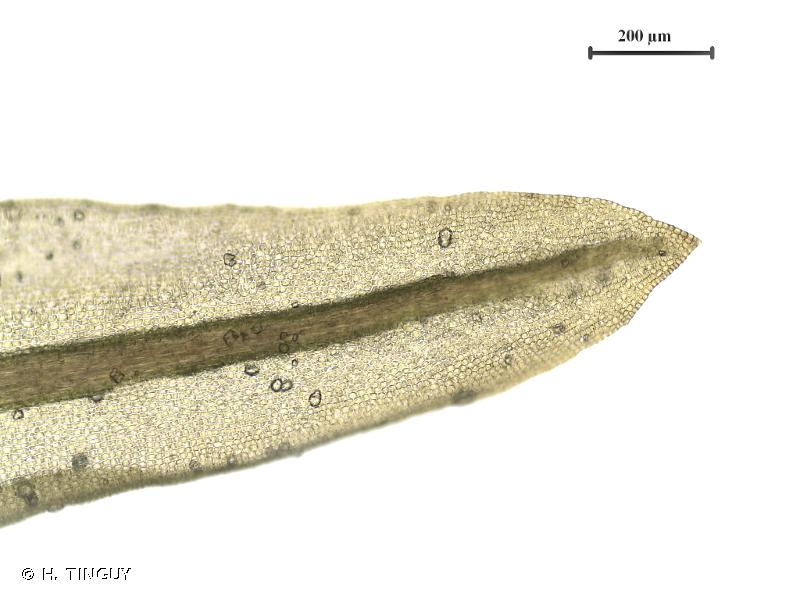 Didymodon tophaceus