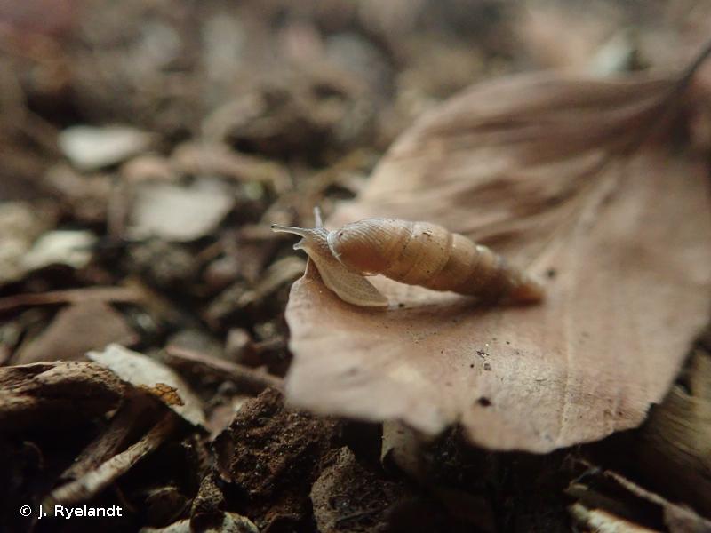 Cochlodina orthostoma