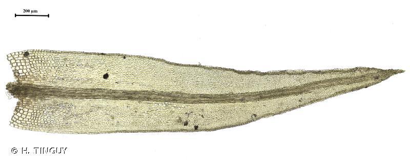 Cynodontium strumiferum