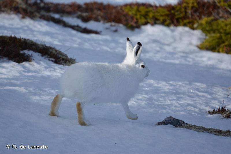 Lepus arcticus