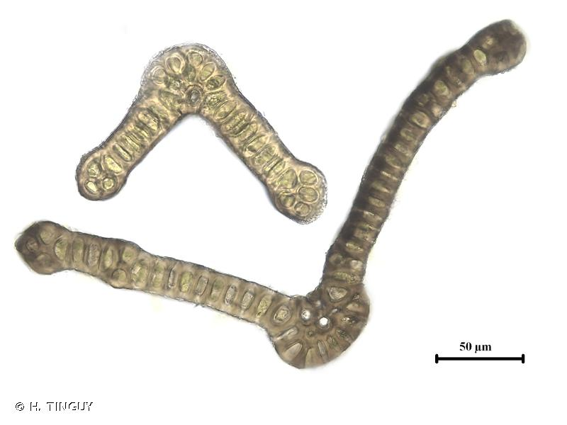 Schistidium helveticum