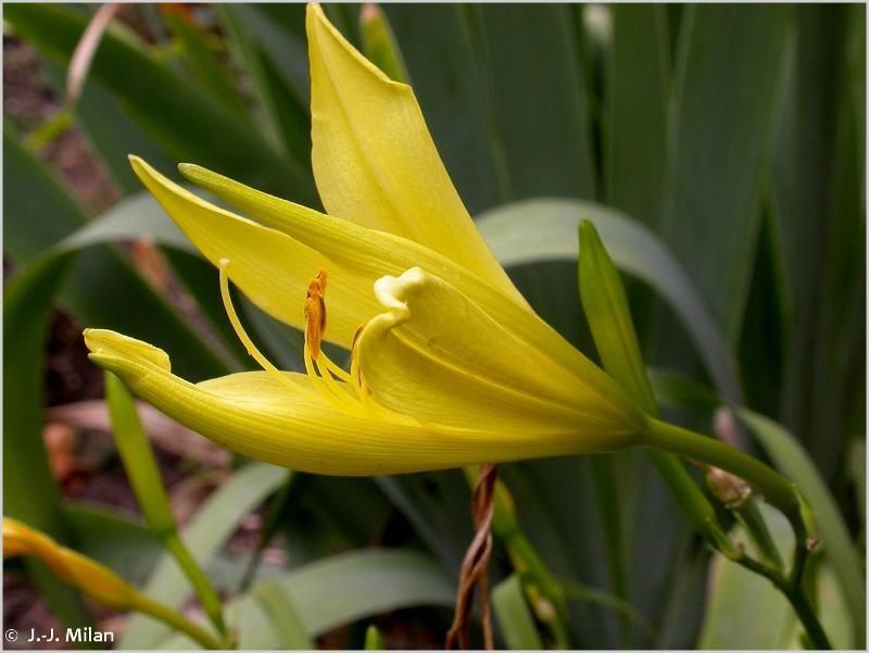 Hemerocallis lilioasphodelus