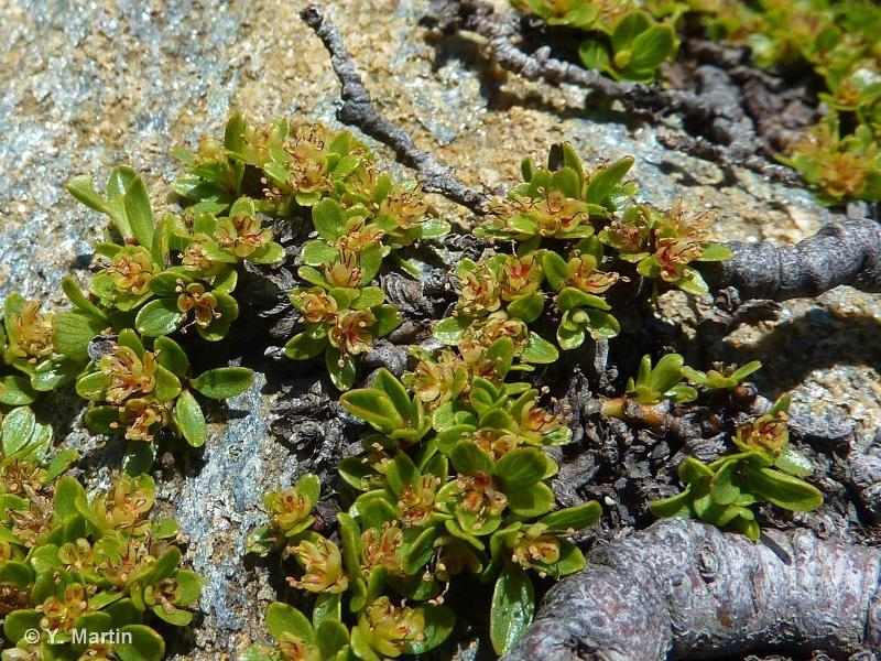 Salix serpyllifolia