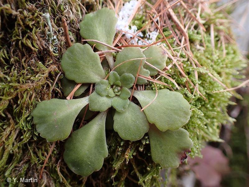Saxifraga cuneifolia