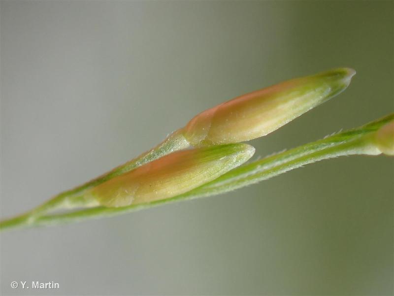 Panicum dichotomiflorum