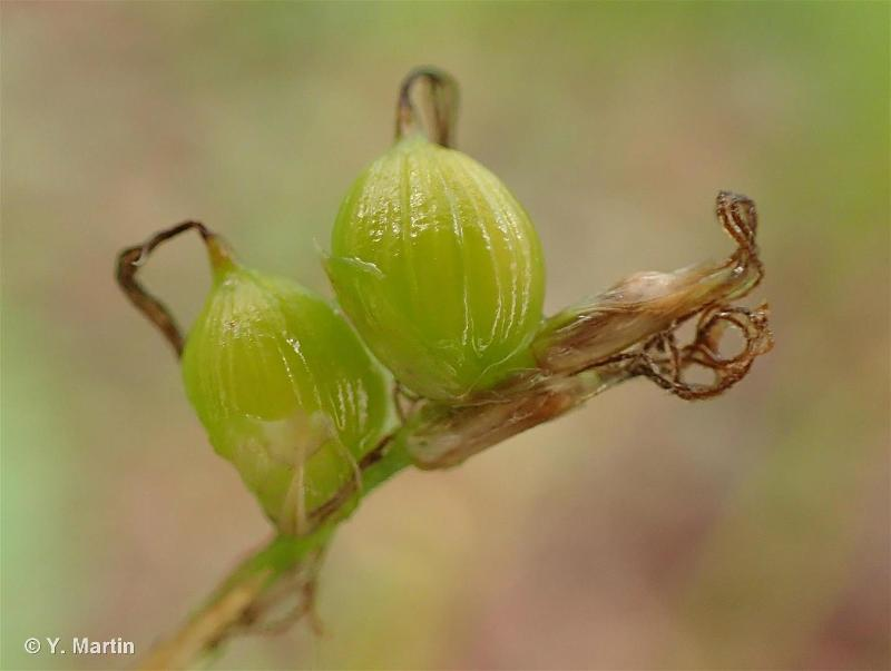 Carex alba