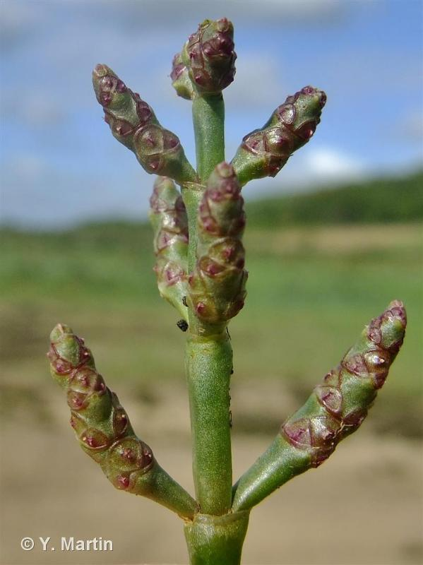 Salicornia europaea