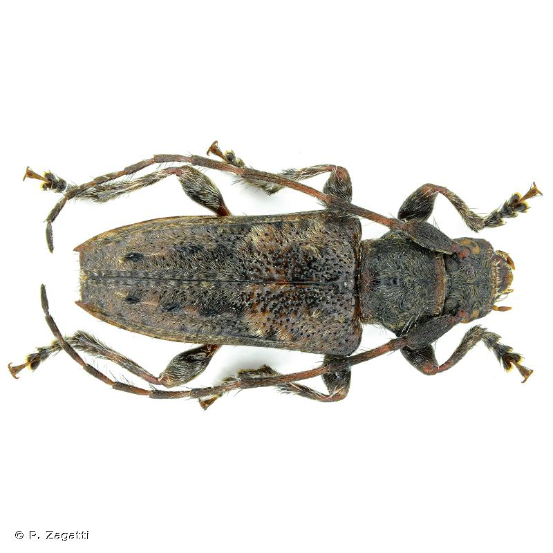 Pogonocherus caroli