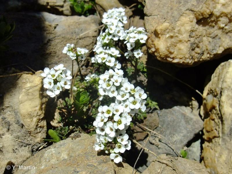 Hornungia alpina subsp. alpina