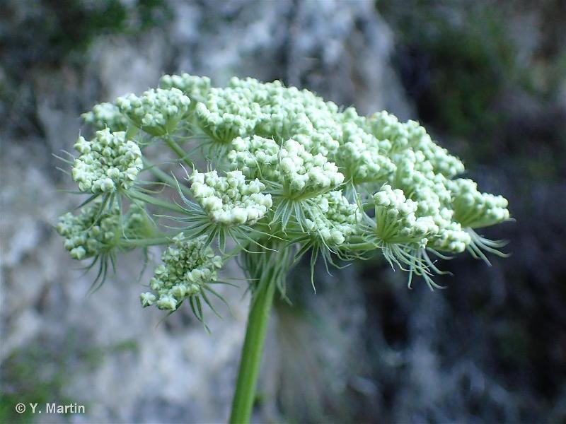 Libanotis pyrenaica
