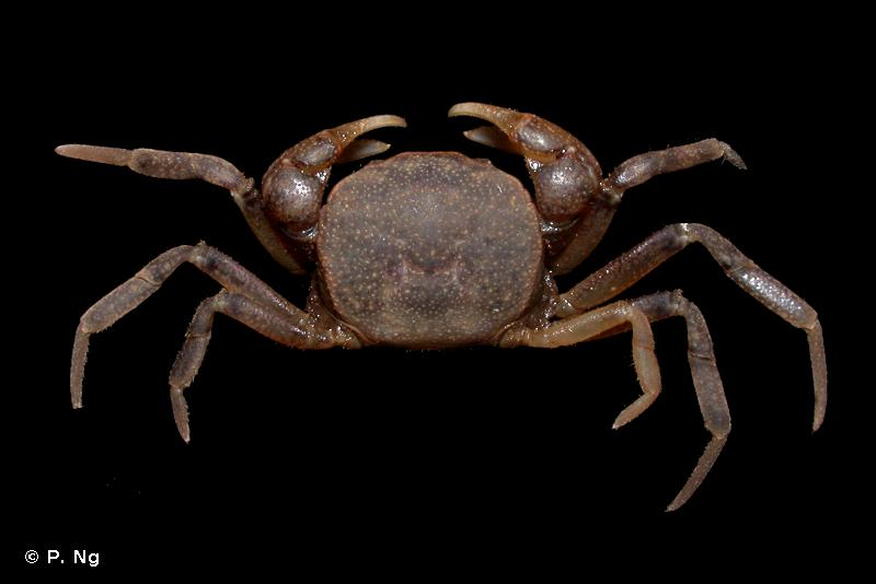 Australocarcinus kanaka