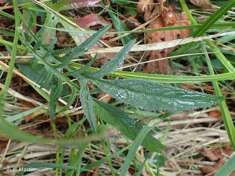 Serratula tinctoria