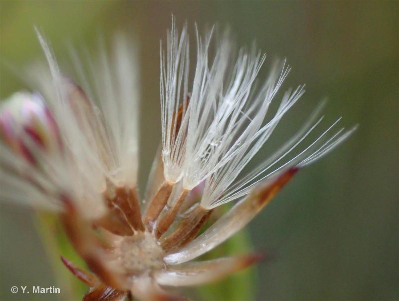 Symphyotrichum squamatum