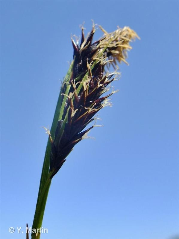Carex frigida