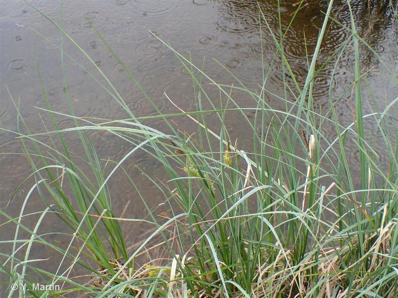Carex rostrata