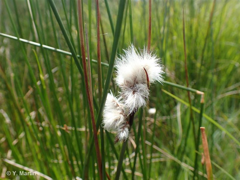 Eriophorum gracile