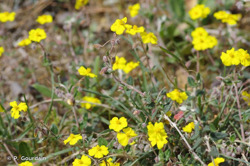 Helianthemum marifolium