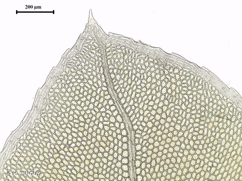 Plagiomnium rostratum