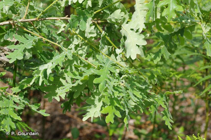 Quercus pyrenaica