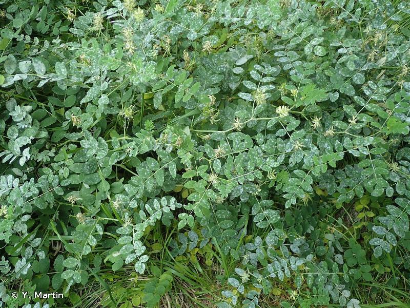Astragalus glycyphyllos