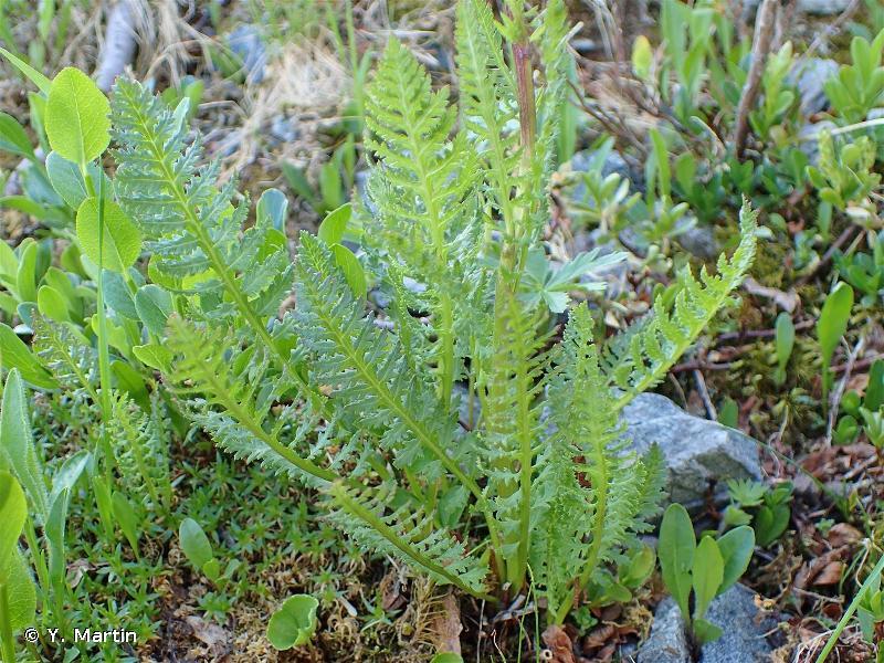 Pedicularis rostratospicata