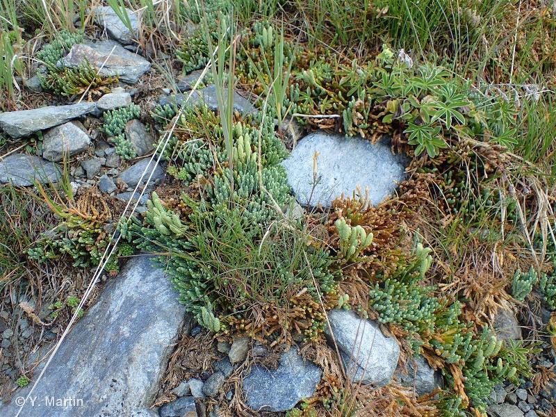 Lycopodium alpinum