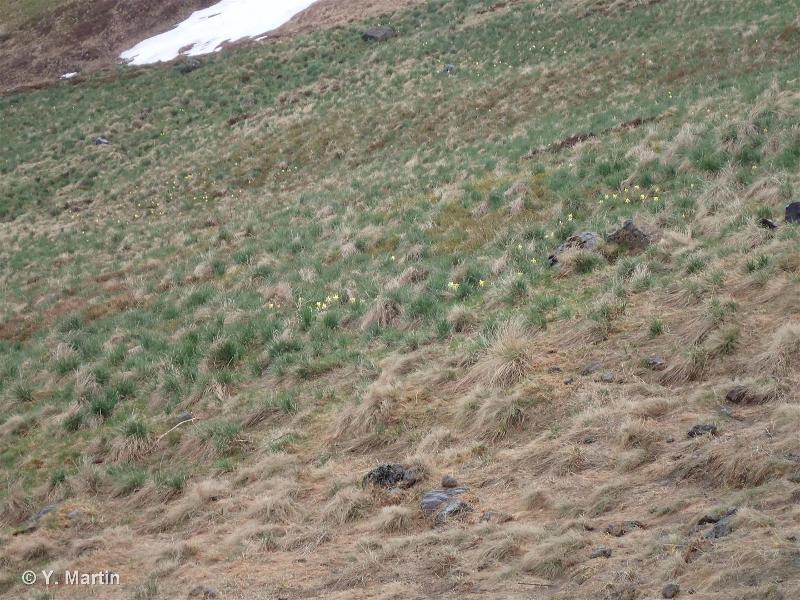 36.331 - Pelouses à Festuca paniculata - CORINE biotopes