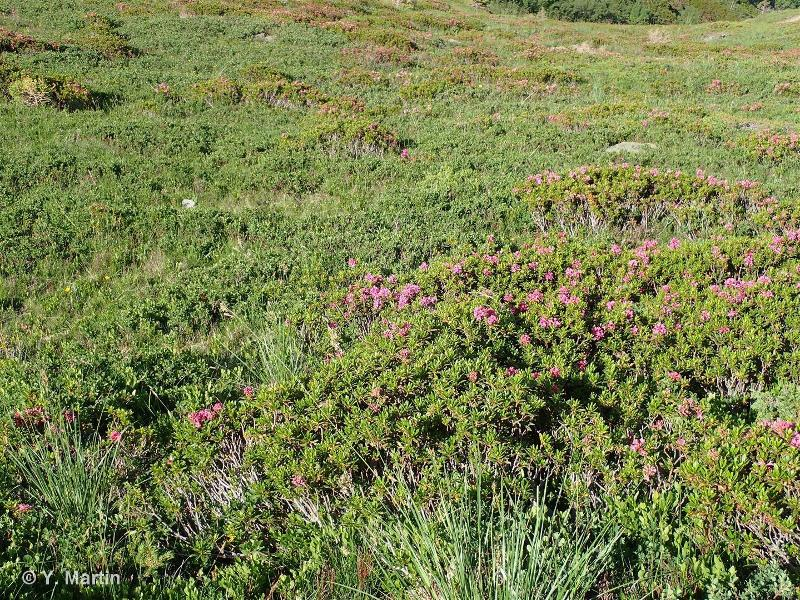 F2.22 - Landes alpidiques acidoclines à <em>Rhododendron</em> - EUNIS