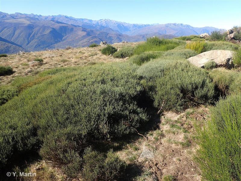 31.8422 - Landes à Cytisus purgans pyrénéennes - CORINE biotopes