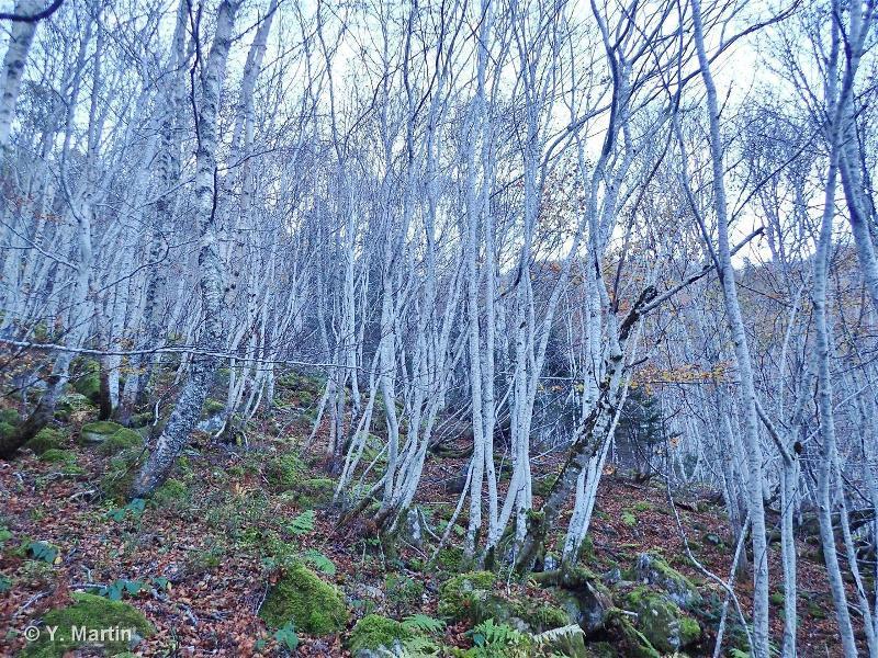 41.B33 - Bois de Bouleaux pyrénéens - CORINE biotopes