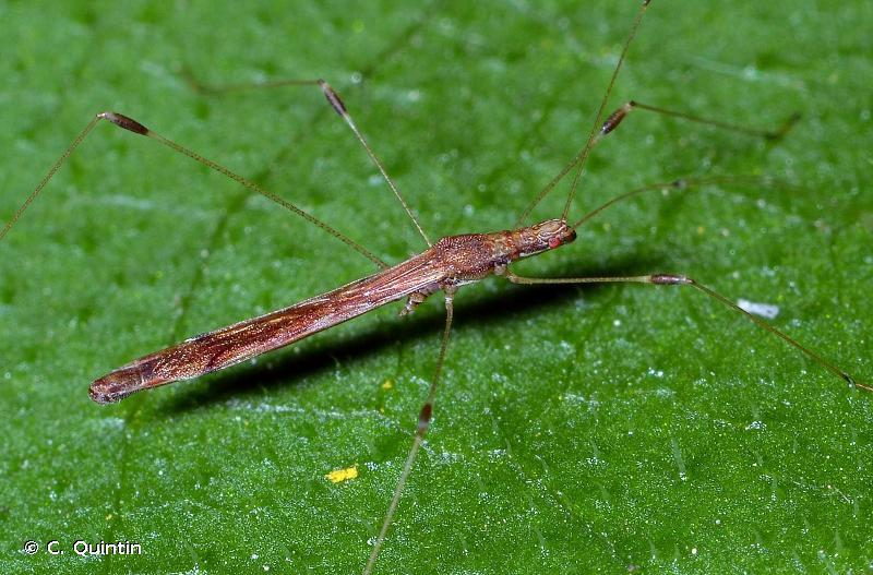 Apoplymus pectoralis
