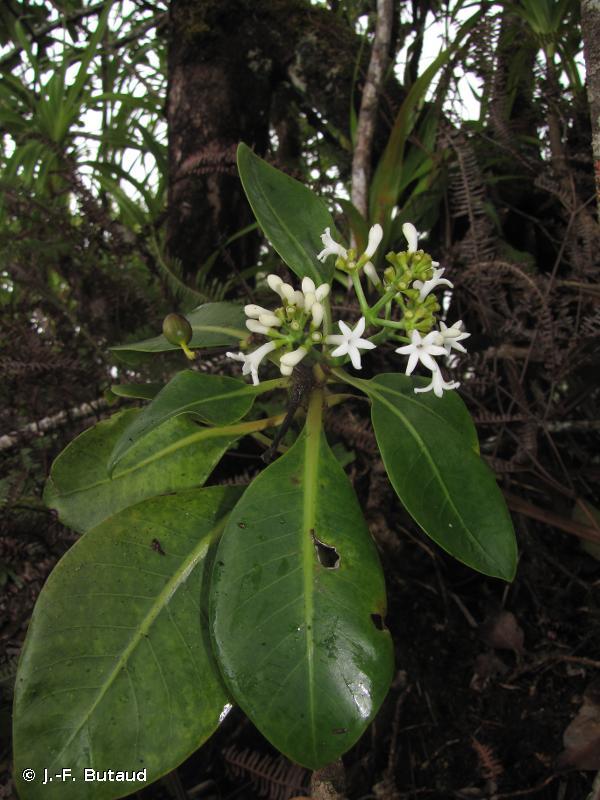 Psychotria temetiuensis