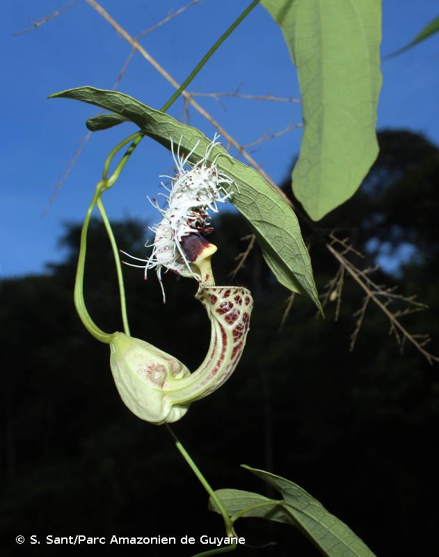 Aristolochia platyloba