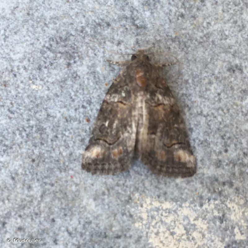 Bryophila ravula