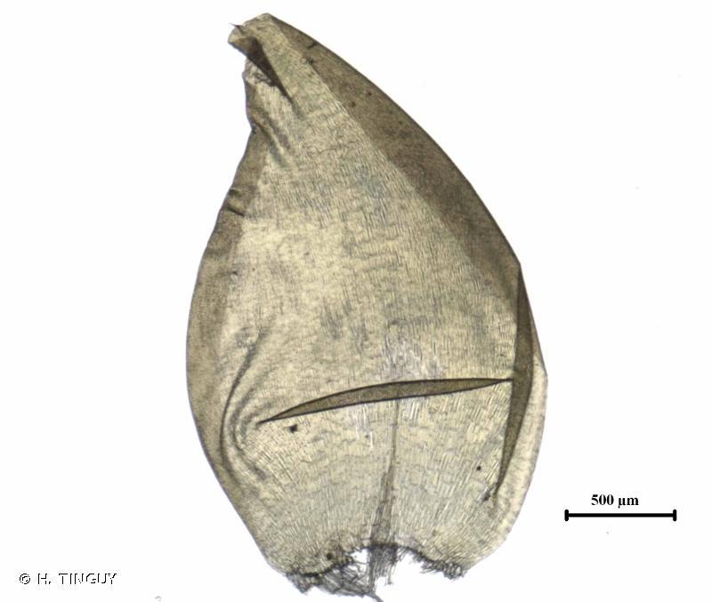 Scorpidium scorpioides