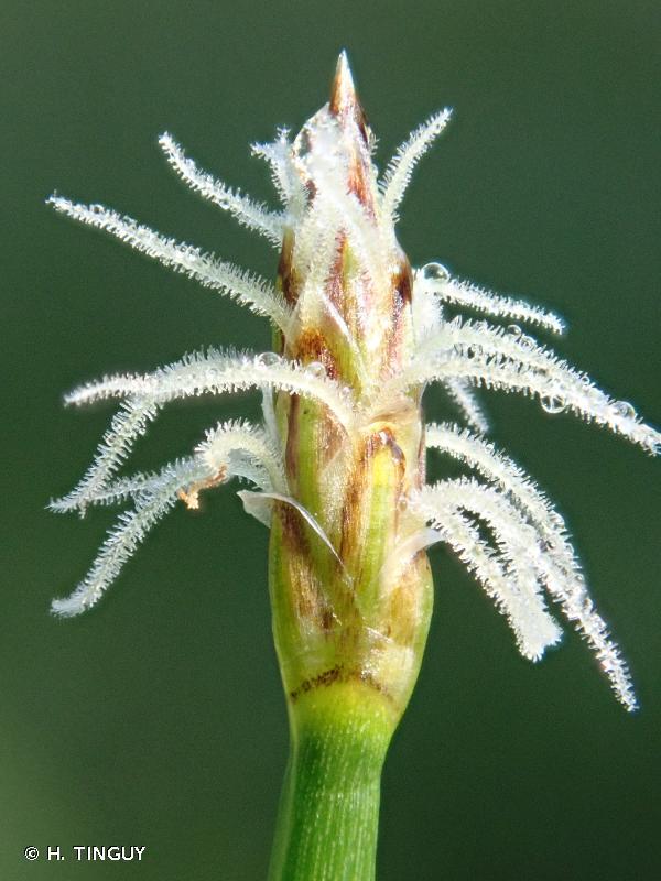 Eleocharis palustris