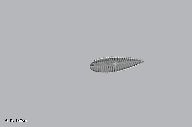 Gomphonema olivaceum