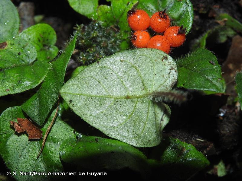 Geophila cordifolia