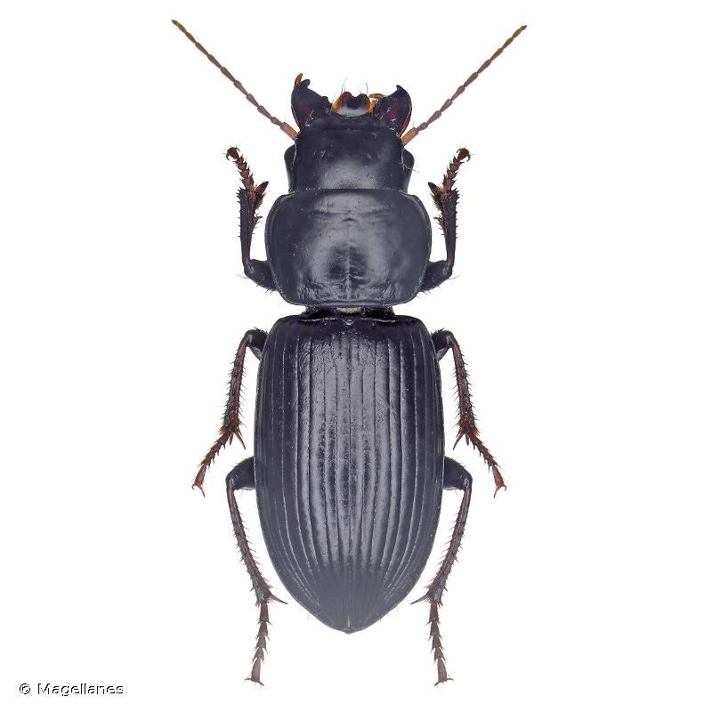 Acinopus megacephalus