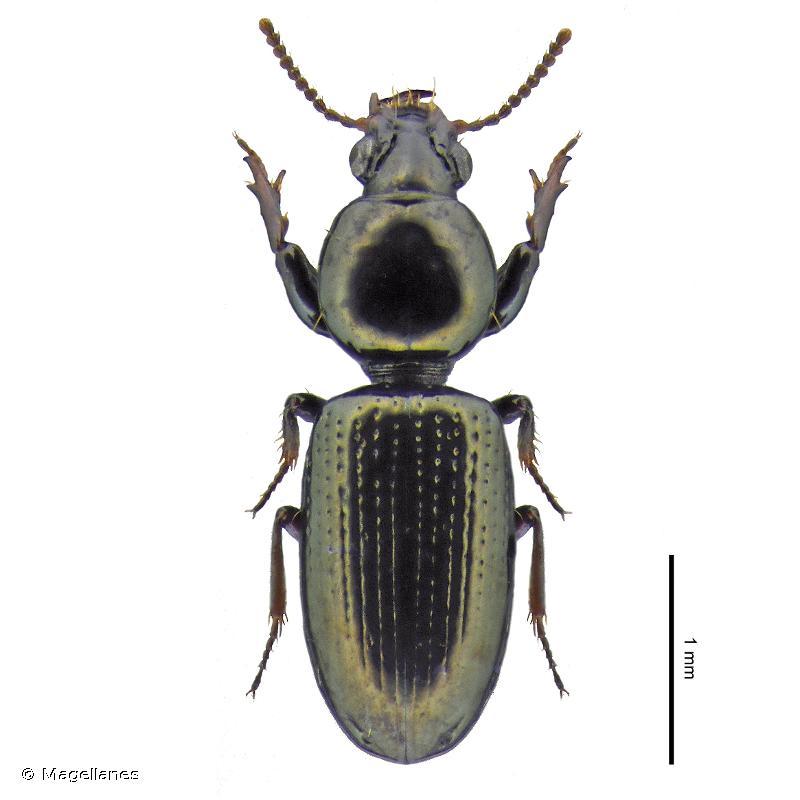 Dyschirius apicalis