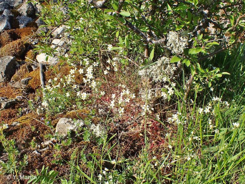 Saxifraga fragosoi