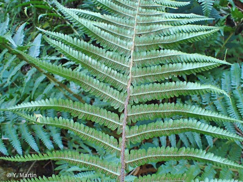 Dryopteris affinis subsp. affinis