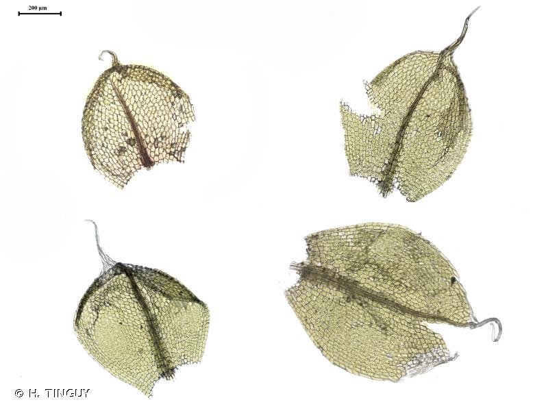 Ptychostomum elegans