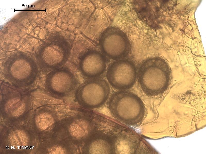Ephemerum serratum