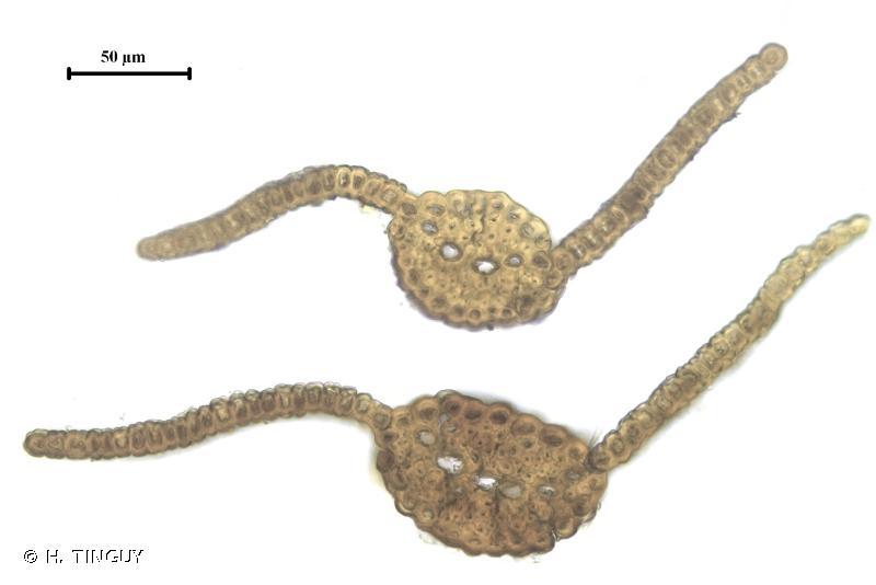Hydrogonium croceum