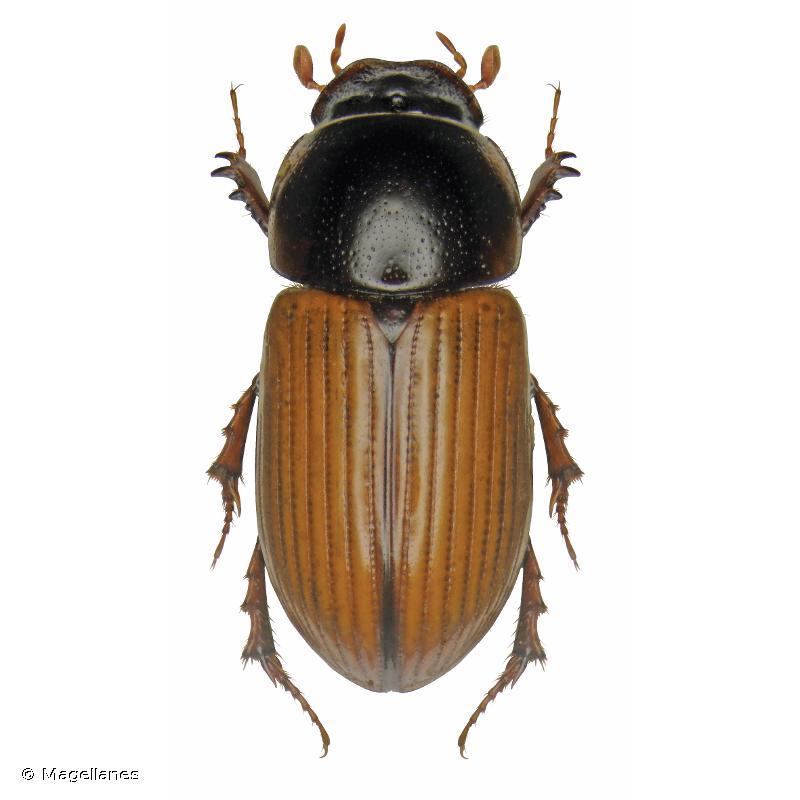 Bodiloides ictericus